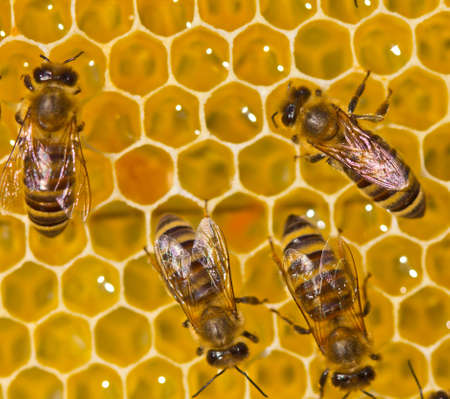 Bees take nectar from honeycomb to transform it into honey