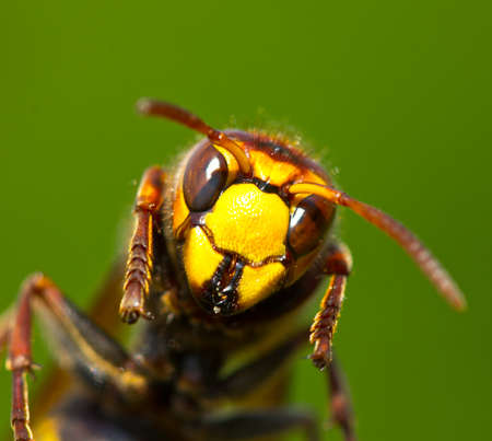 Hornet held the lower part of his body. He is trying to take off. Stock Photo