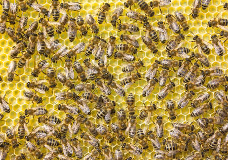 Honeycomb size corresponds to the size of the larvae of future bees. 写真素材