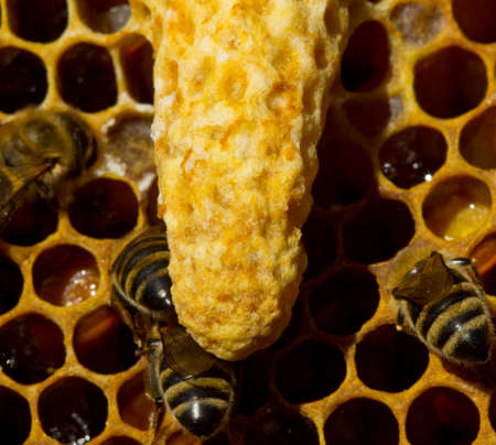 The beginning of a new life. The larva of the future queen bee develops in a wax cocoon. Reklamní fotografie - 131432423