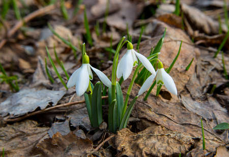 Snowdrop belongs to the first flowers of spring.The picture was taken at the end of the day in a leafy forest. Standard-Bild - 138828299