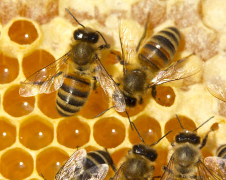 Active work of the team of bees in the hiveYoung bees convert nectar into honey.