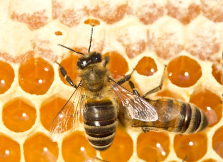 Bees convert nectar into honey and cover it in honeycombs. Archivio Fotografico