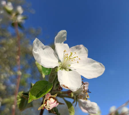 Flower of apple tree on a background of blue sky.Blue sky is a beautiful background for a flower of an apple tree.
