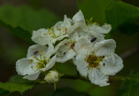 Flowers of hawthorn.They give a lot of nectar. The flowers and fruits of hawthorn are used in medicine. Photographed in the evening. Standard-Bild - 148949040