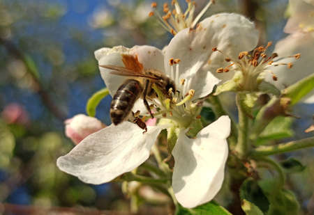 Honey bee collects nectar and pollen from a flower of an apple tree.The flowers of fruit trees allow the first collection of nectar and pollen.
