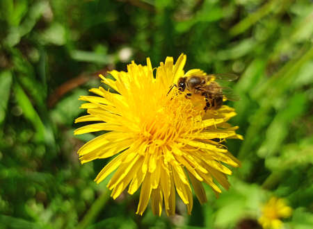 A bee collects nectar and pollen from dandelion flowers.