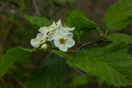 Flowers of hawthorn.They give a lot of nectar. The flowers and fruits of hawthorn are used in medicine. Photographed in the evening. Standard-Bild