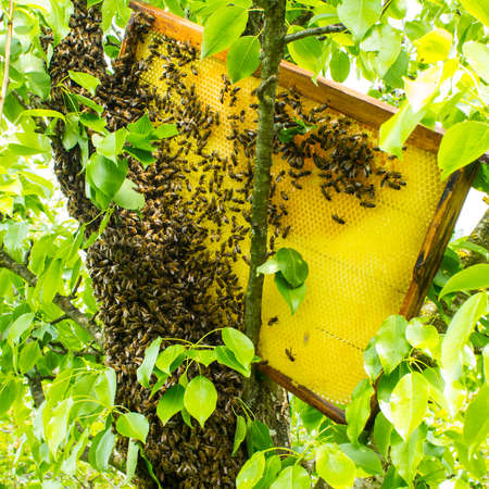 We remove a bee swarm from a tree trunk. A special case in beekeeping. In order to remove bees from the trunk of a tree, they need to substitute a frame with honeycombs that contain honey. Standard-Bild - 147712183