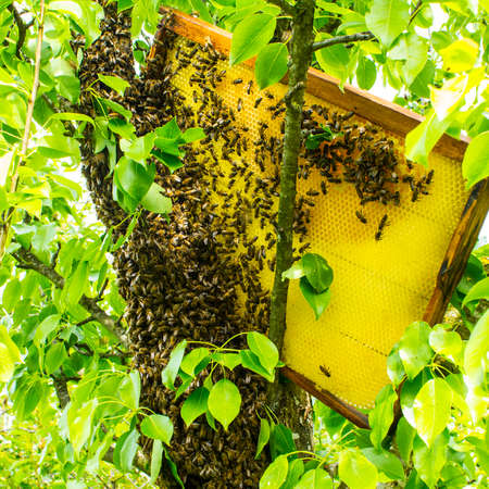 We remove a bee swarm from a tree trunk.A special case in beekeeping. In order to remove bees from the trunk of a tree, they need to substitute a frame with honeycombs that contain honey.