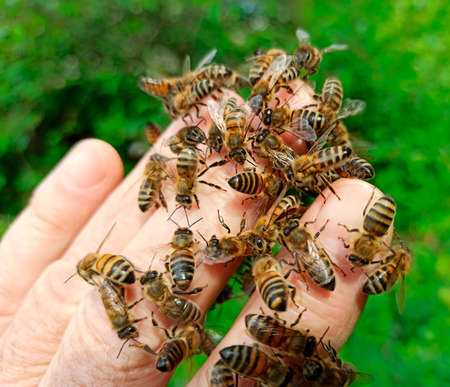 Bees on the beekeeper's fingers.During work in the apiary, bees can sit on parts of the human body.