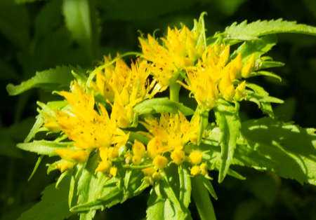 Medicinal plant Golden root.Crassulaceae family. Rhodiola rosea in the form of tea is used to relieve fatigue, overwork, to increase performance and stamina.