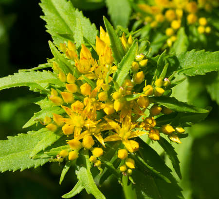 Immunity enhancer Golden root.Crassulaceae family. Rhodiola rosea in the form of tea is used to relieve fatigue, overwork, to increase performance and stamina.