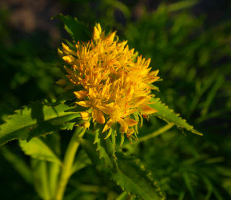 Golden Root Medicinal Plant Flower Crassulaceae family. Rhodiola rosea in the form of tea is used to relieve fatigue, overwork, to increase performance and stamina.