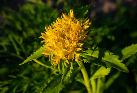 Crassulaceae family. Rhodiola rosea in the form of tea is used to relieve fatigue, overwork, to increase performance and stamina Standard-Bild