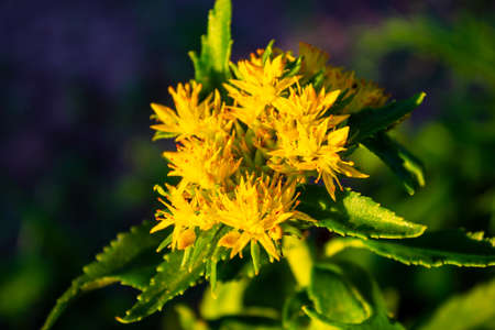Crassulaceae family. Rhodiola rosea in the form of tea is used to relieve fatigue, overwork, to increase performance and stamina.