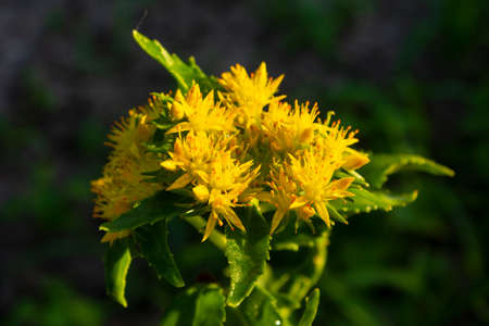 Medicinal plant Golden root. Golden Root Medicinal Plant Flower Crassulaceae family. Rhodiola rosea in the form of tea is used to relieve fatigue, overwork, to increase performance and stamina. Standard-Bild - 151543888
