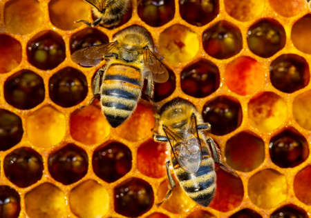 Color harmony in a bee hive. Bee deplivered pollen to the beehive. Pollen is food for bees. Standard-Bild - 155041993