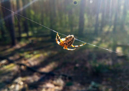 The spider moves along the spider web he created Predatory insect. The victim is caught in the web he weaves