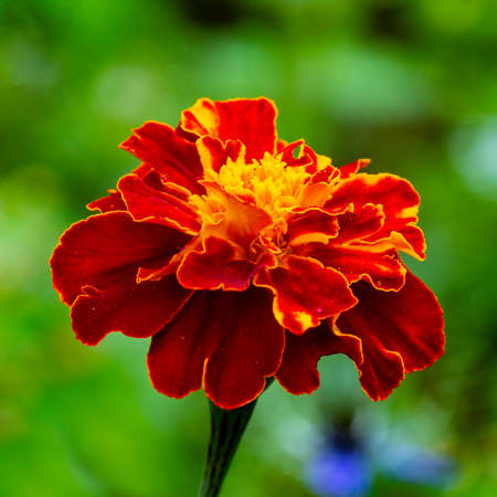 Marigolds complement the Golden Autumn range with their yellow color.