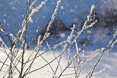 Frost on the branches of plants and trees. The freezing moisture of the fog settles on the branches of trees and plants.