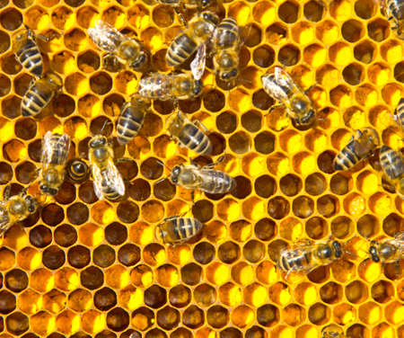 Close up pollen in honeycombs. The color of pollen depends on how it is taken from the flowers.