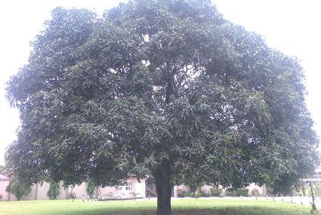 the sun and shade: Canopy tree for sun shade