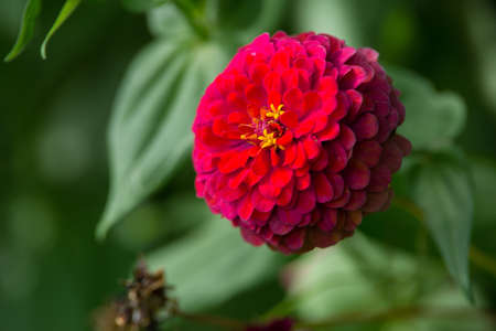 red zinnia photo