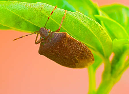 compound eyes: Bug on leaf of basil Stock Photo