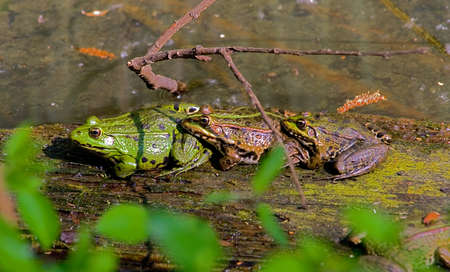 Three common frogs (Rana temporaria) mating. Group of frogs in a pond with female sandwiched between two males aiming to fertilise spawn