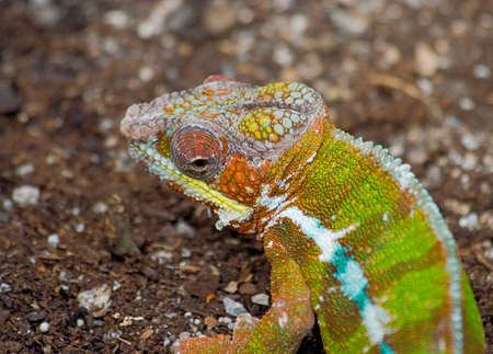 Portrait of Colorful Lizard Stock Photo