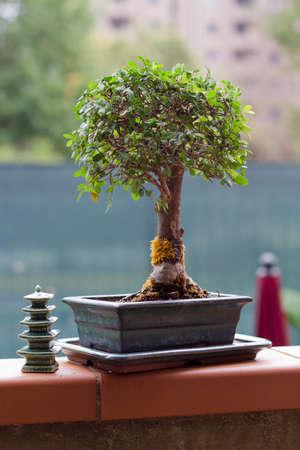 Little chinese elm as bonsai tree
