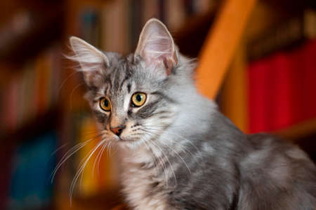Kitten - Norwegian Forest Cat