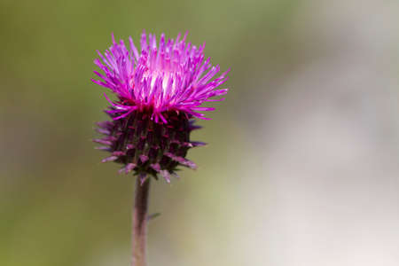 Blossoming thistle with pink flowers