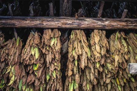 Cigar tobacco Foto de archivo