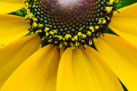 A detail from above of the center cone of a black-eyed susan (AKA Rudbeckia Hirta) Archivio Fotografico