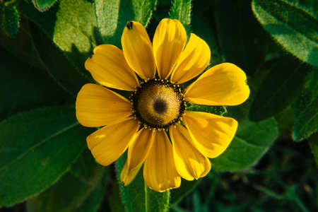 One beautiful black-eyed Susan Toto flower (AKA Rudbeckia Toto) seen from above Archivio Fotografico