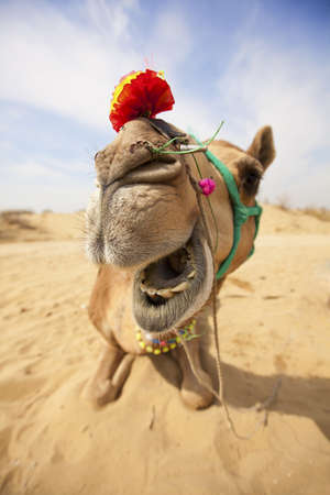 bikaner: The laughing camel in the desert near Bikaner, Rajasthan, India.