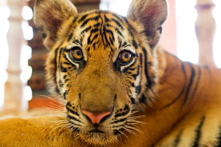 tigre cachorro: cachorro de tigre lindo que mira alerta y l�dico. Pantera Tigris.