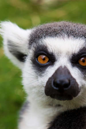 ring tailed: Close-up of a ring tailed Lemur.