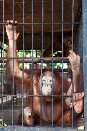 utang: Sad Orang-utan in a cage.
