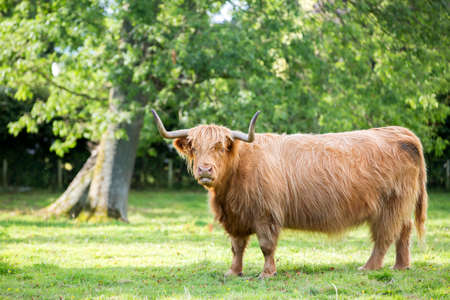 bos: Highland cattle in a field. Bos Taurus. Stock Photo