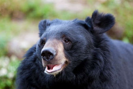 grisly: Himalayan Black Bear, West Bengal, India. Stock Photo