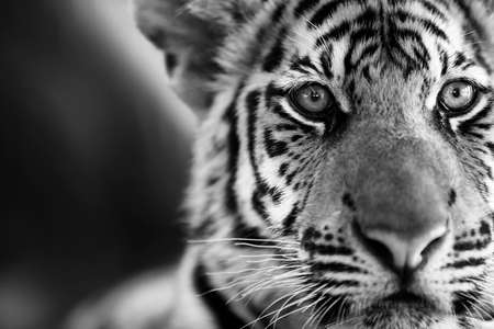 cub: Beautiful young tiger Panther Tigris. Black  White photo.