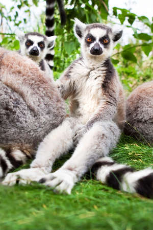 ring tailed: The inquisitive ring tailed Lemurs sat watching. Stock Photo