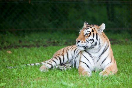 panthera tigris: The resting tiger Panthera tigris.