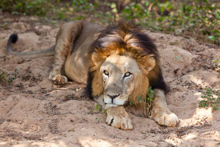 asiatic: Male asiatic lion laying down.