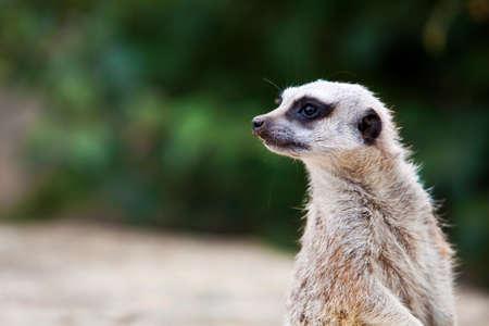 at meerkat: Meerkat. Stock Photo