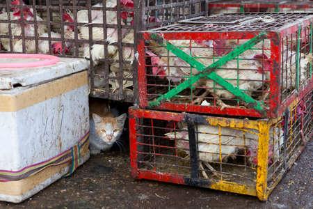 amongst: Cat amongst the chickens, market in Delhi. Stock Photo