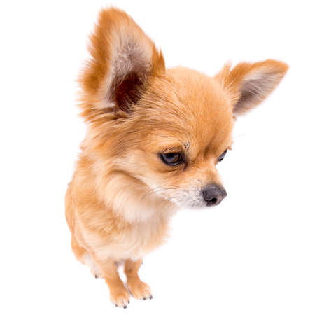 long hair chihuahua: Sad looking male long hair Chihuahua isolated on white Stock Photo
